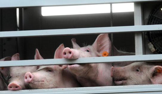 Transport des animaux: création de la première Commission d'enquête