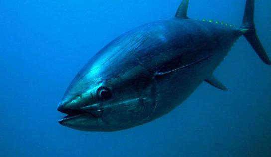 Thon rouge: un vote en demi-teinte en commission de la Pêche