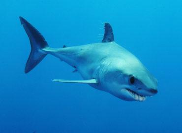 Courrier au Commissaire Sinkevičius: l'UE doit agir pour sauver les requins makos menacés d'extinction