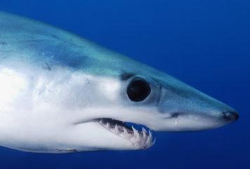 Endangered shortfin mako shark: answer from the European Commission