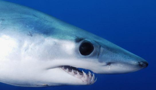 Requins mako en danger: réponse de la Commission européenne