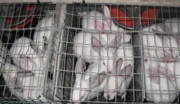 End The Cage Age: vers la fin de l'élevage en cage.