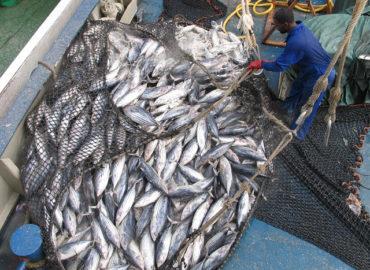 Menace sur le thon albacore: des mesures insuffisantes